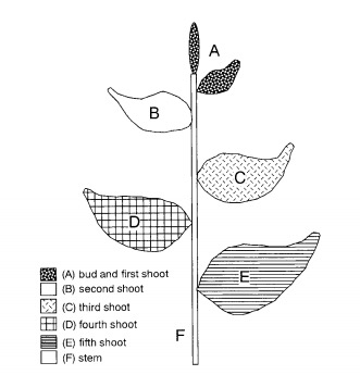 benifuuki-leaf