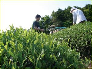 Bancha plantation
