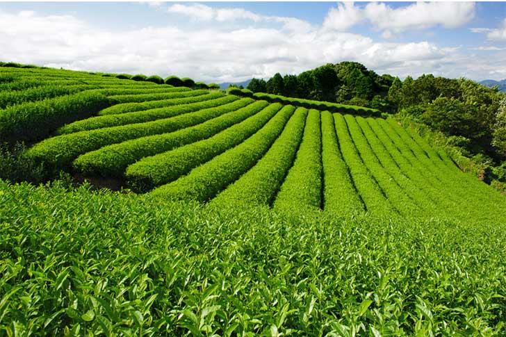 sencha-tea-flield